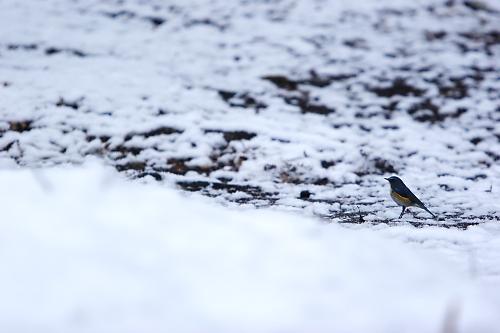 雪の上を歩くルリビタキ
