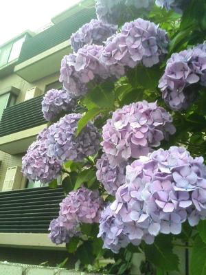 ajisai_20060615_02
