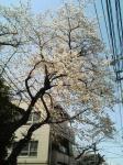 sakura_20060331_01