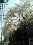 sakura_20060331_02