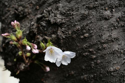 桜@家の近所2