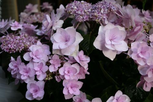 今年の紫陽花3