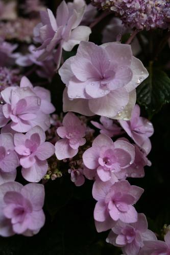 今年の紫陽花4
