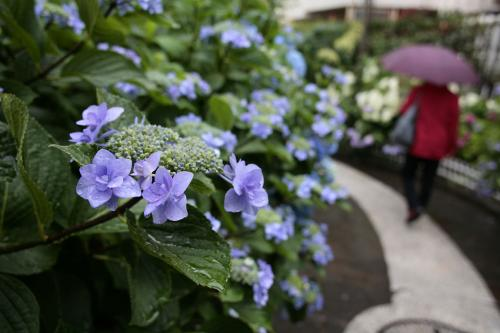 堀切の紫陽花3