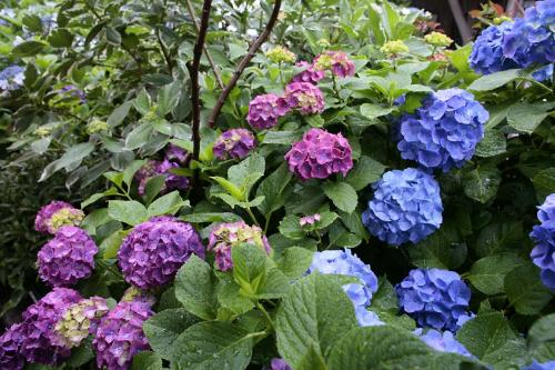堀切の紫陽花4