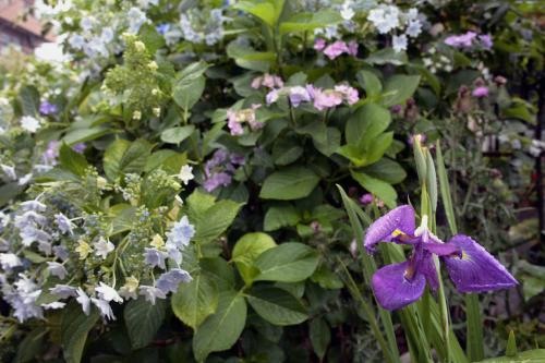 堀切の紫陽花5