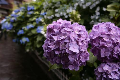 堀切の紫陽花6