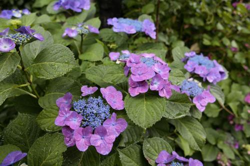 堀切の紫陽花8