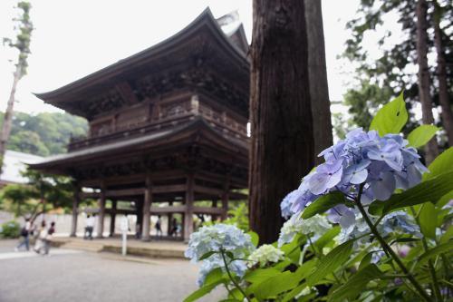 鎌倉の紫陽花1