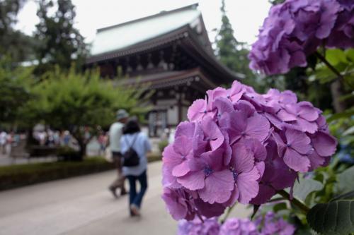 鎌倉の紫陽花2