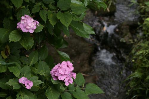 鎌倉の紫陽花4