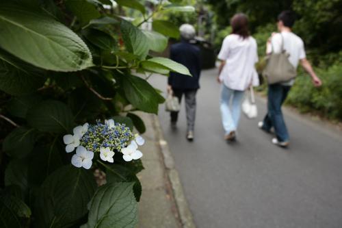 鎌倉の紫陽花5