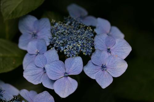 鎌倉の紫陽花7