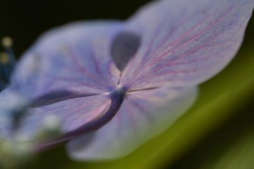 鎌倉の紫陽花8