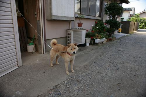 笠上黒生柴犬