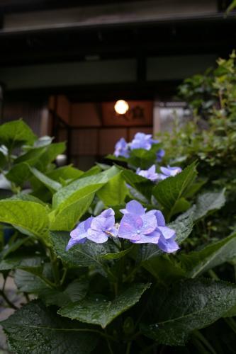 鎌倉無心庵・紫陽花