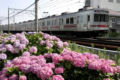 東急8590系8695F@錦が丘[急行]紫陽花