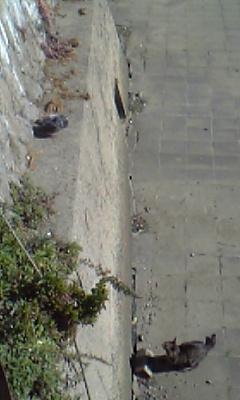 pigeonvscat02.jpg