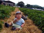 イチゴ畑でツマミ食い2
