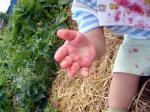 イチゴ畑でツマミ食い3