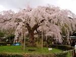 京都旅行で花見(桜)