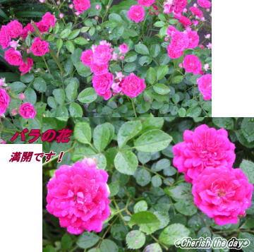 バラの花☆070524