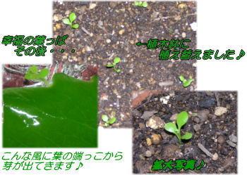 『幸福の葉っぱその後』