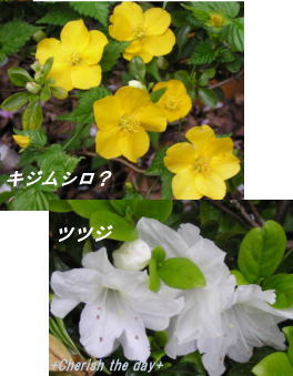 キジムシロとツツジ☆070407