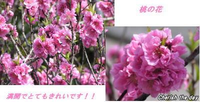 桃の花060328