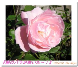 庭のバラ061113
