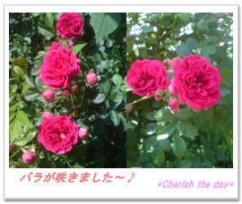 バラが咲きました~♪