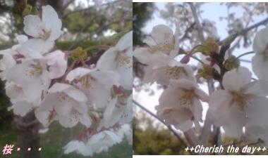 06年お花見の桜①