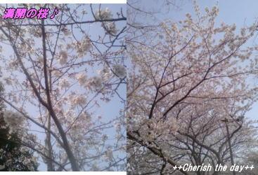 06年お花見の桜②