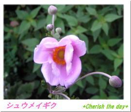 シュウメイギク(秋明菊)☆