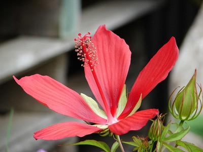 モミジアオイ(紅葉葵)