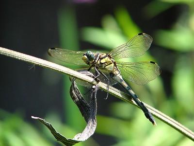 ムギワラトンボ(シオカラトンボ:雌)