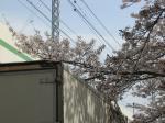 トラックと桜