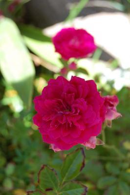 gardenrose-p