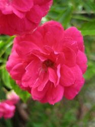 gardenrose-r