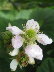 rasberry-hana