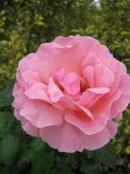 rose-p2
