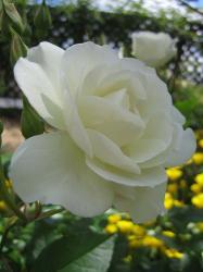 rose-w