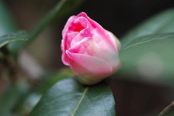 薔薇みたい?