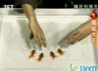 金魚を意のままに操る謎のオヤジ