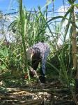 sugarcane1.jpg
