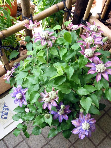 マジックフォンテンと紫泉の寄せ植え