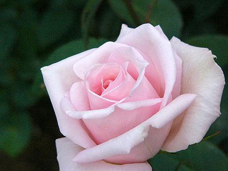 Rose-fuchu01-450.jpg