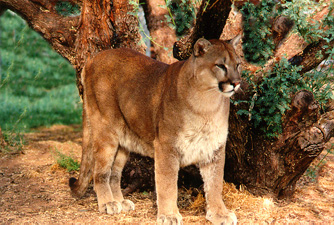 mountainlion.jpg