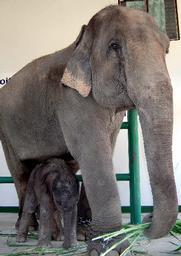 タイのランパン県のゾウ保護センターで