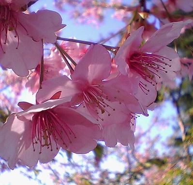 取手の河津桜